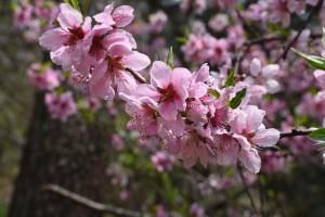 peach-blossom-1327978_1920